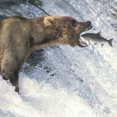 bear-livefishing