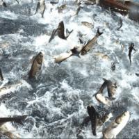 Many Jumping up fish